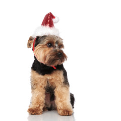 curious santa yorkshire terrier looks to side while sitting
