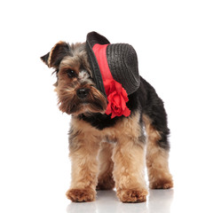 elegant yorkshire terrier wearing black hat standing