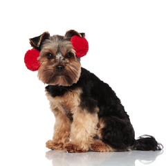 side view of cute yorkshire terrier wearing red earmuffs