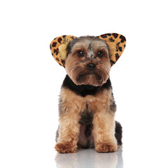 cute yorkshire terrier wearing animal print headband