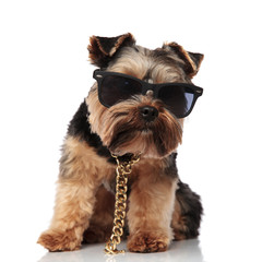 cute seated yorkie wearing gold necklace and sunglasses