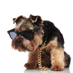curious seated yorkie wearing sunglasses looks down to side