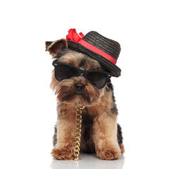 gentleman yorkie terrier wearing sunglasses and collar standing