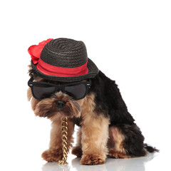 gentleman yorkshire terrier with sunglasses looks down