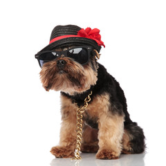 stylish terrier wearing sunglasses and black hat looks to side