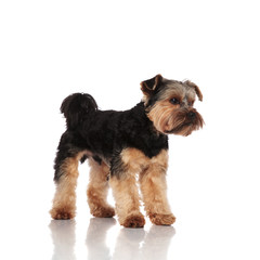 side view of adorable yorkshire terrier standing