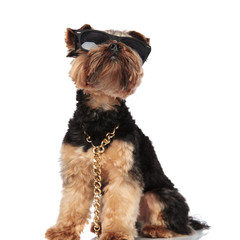 curious yorkie wearing sunglasses and golden chain looks up