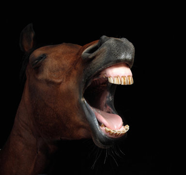 close-up of horse with open mouth against black background
