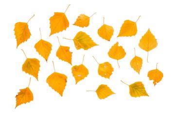 Yellow autumn birch leaves
