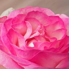 vibrant pink rose flower closeup, natural background