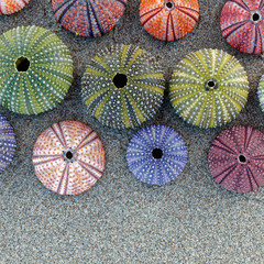 colorful sea urchins shells on wet sand beach top view, space for text