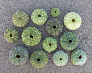 green sea urchins on wet sand beach, top view