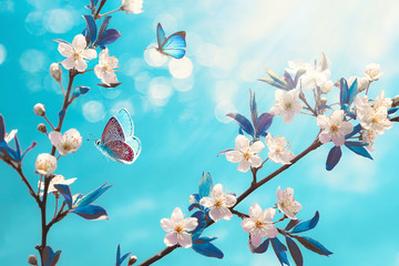 Wall Mural - Beautiful branch of blossoming cherry and blue butterfly in spring at Sunrise morning on blue background, macro. Amazing elegant artistic image nature in spring, sakura flower and butterfly.