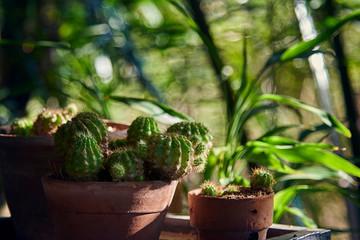 Close Up Of Cactus In Tree Pot.
