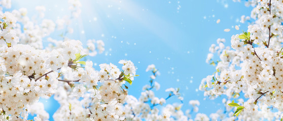 Obraz Branches of blossoming cherry macro with soft focus on gentle light blue sky background in sunlight with copy space. Beautiful floral image of spring nature. - fototapety do salonu