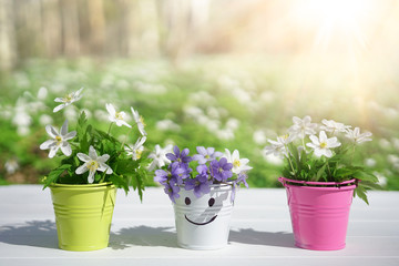Fototapete - Spring fresh flowers of anemone in color vases in buckets with smale on a white wooden table against background of spring forest on nature outdoors in sunny day with copy space. Concept of spring.