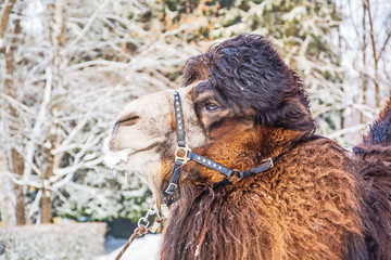 Portrait of a camel on the background of the winter forest