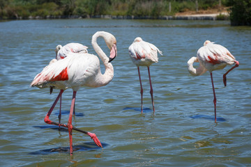 Pink flamingo searches for food in shallow water. Reserve Camargue. France
