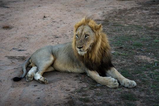 Löwe Kruger Nationalpark