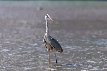 Gray heron.Wildlife in natural habitat