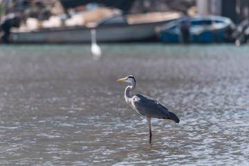 Gray heron.Wildlife in natural habitat