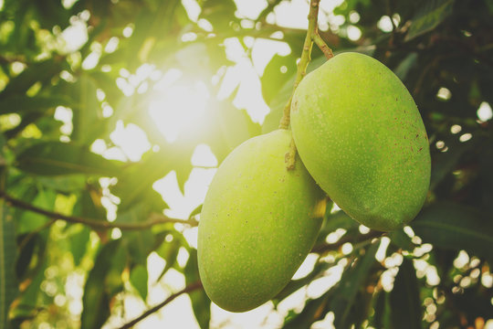 Mango fruit hanging on the tree with green leaves and morning sunshine.