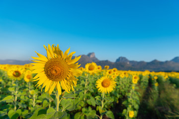 Wall Mural - Sunflowers blooming field landscape sky background on sunlight., Beautiful agricultural farming outdoor and natural plant in summer season., Business travel and raw food concept.