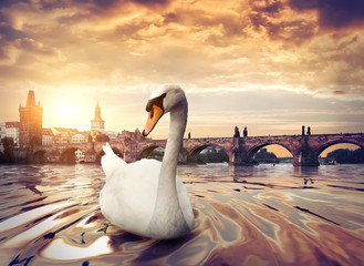 Fototapete - Swan near Charles Bridge