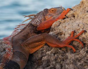 Bright Red Iguana Lizard clinging to Rock