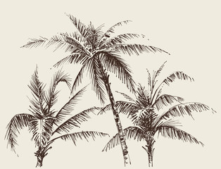 Palm trees foliage, tree crown drawing