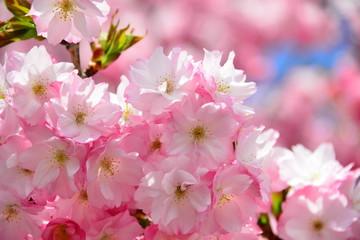 Close up sakura or cherry blossom; Japanese Spring Flower Sakura; Pink Cherry Flower