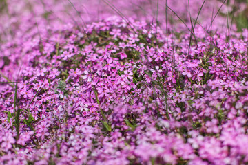 Shallow depth of field photo, only few blossoms in focus, pink / lilac flowerbed. Abstract flowery spring background.