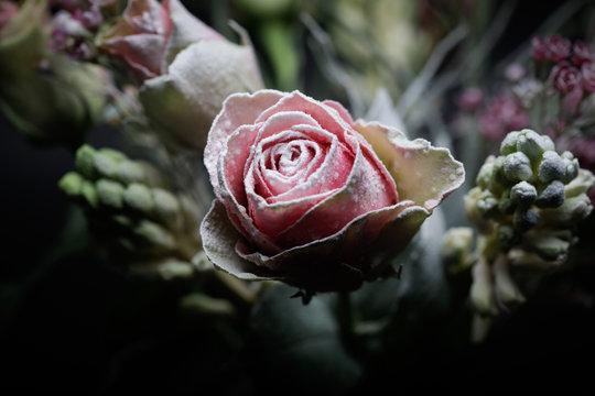 Pink frozen rose