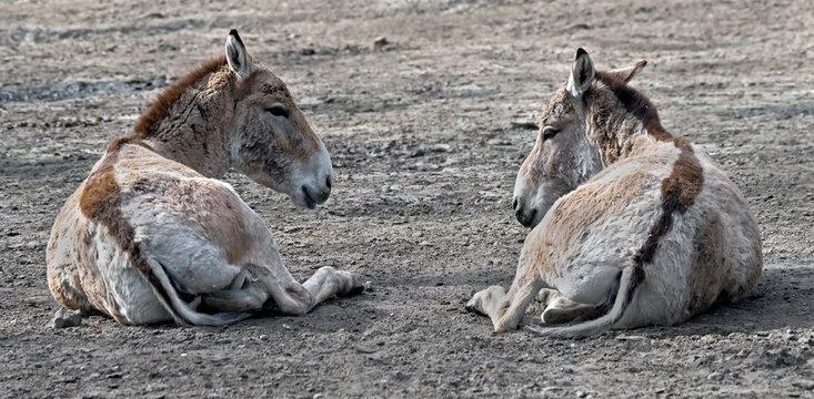 Onager also known as hemione or kulan or Asiatic wild ass. Latin name - Equus hemionus