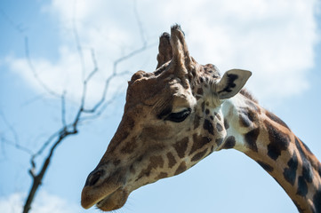 Giraffe Blue Sky