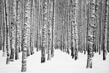 Snowy winter birches black and white