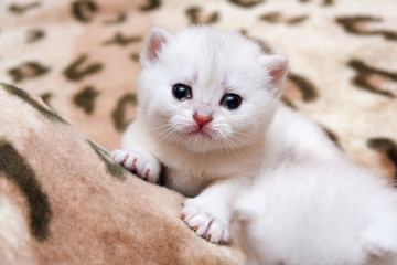 Cute little white British kitten crying looking at camera