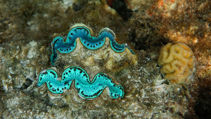 Underwater photo of two turquoise giant clams (Tridacna maxima), Red Sea, Egypt