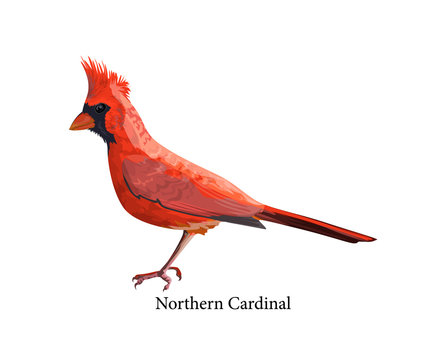 Northern cardinal bird with bright red feather