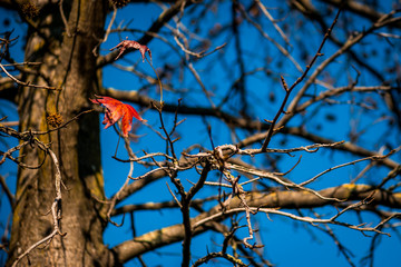 Lonely Mapple Leave in the Tree