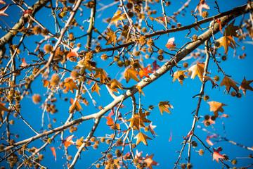 Beautiful Chestnut Tree with blue Sky