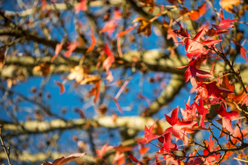 Beautiful Red Mapple Leaves in the Tree