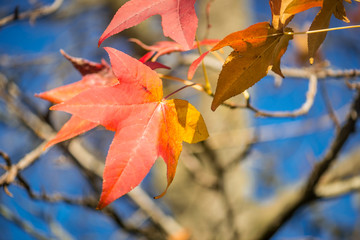 Beautiful Mapple Leave in the Tree