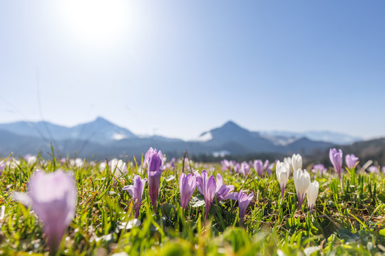 closeup of wild crocos in purple and white on famous Mountain Heuberg with snow covered Alps in the background