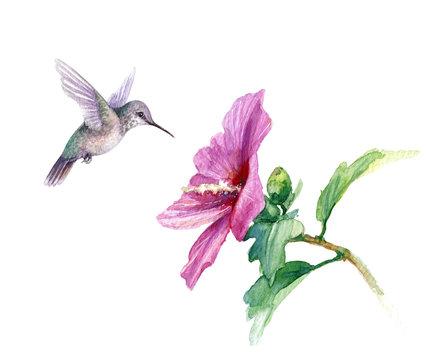 Watercolor Humming Bird near Hibiscus