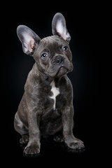Fototapeten Französisch bulldog French bulldog puppy on black background