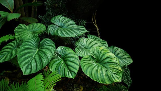 Heart shaped bicolors leaves of Philodendron plowmanii the rare exotic rainforest plant with forest ferns and varieties of tropical foliage plants in ornamental garden on dark background.