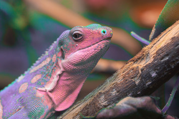 A multicolor lizard standing.  Texture of the animal skin background