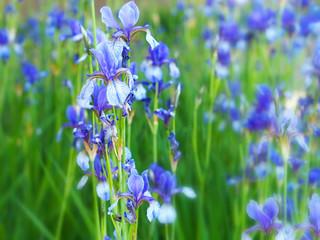 Bearded iris flowers, Iris germanica growing in garden