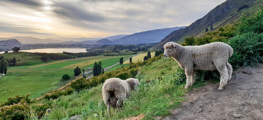 Sheeps at the Roys Peak Track, Wanaka, New Zealand, South Island, NZ